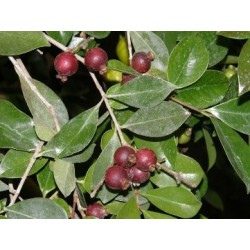 Erdbeer Guave rot