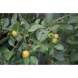 Erdbeer Guave gelb
